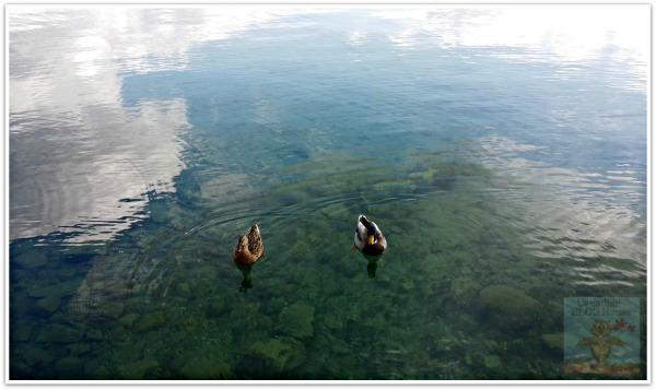 Ducks close to shore - Skaneateles Lake, New York
