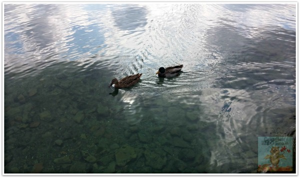 Ducks at Skaneateles Lake, New York