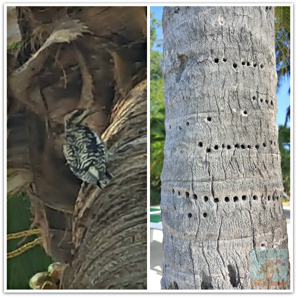 critters and creatures Florida Keys Downy Woodpecker
