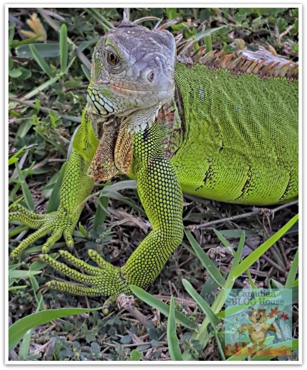 critters and creatures Florida Keys Iguana