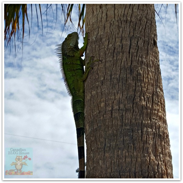 critters and creatures Florida Keys Iguana Tree