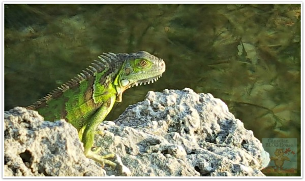 Green Iguana Florida Keys