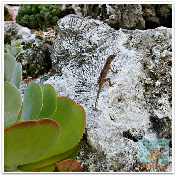 critters and creatures Florida Keys Lizard on Rock