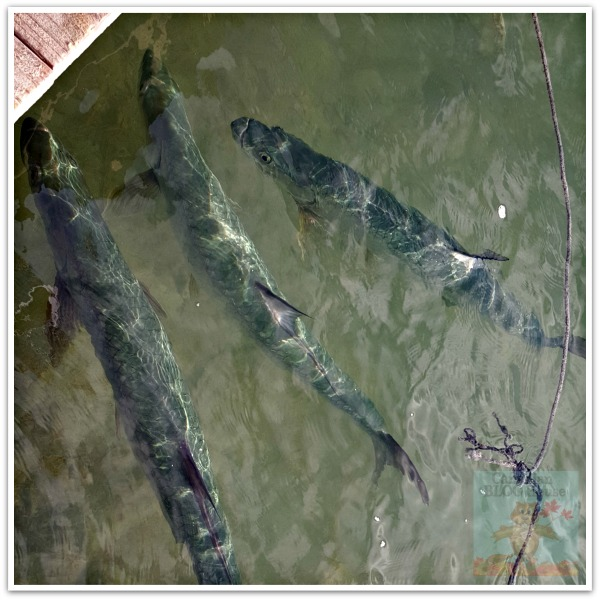 critters and creatures Florida Keys Tarpon