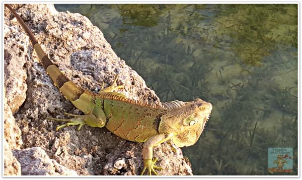 IguanaFloridaKeys