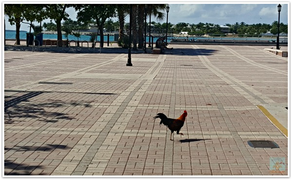 Key West Florida Rooster in Quaint and Quirky Key West
