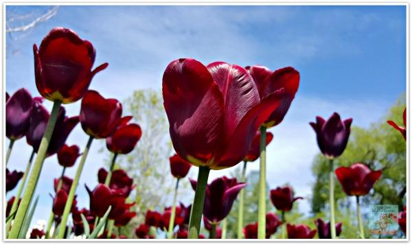 Tulip at Canadian Tulip Festival