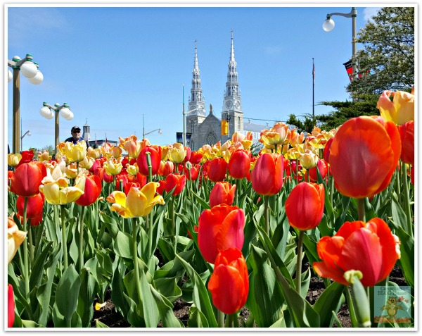 Tulip garden with view of church