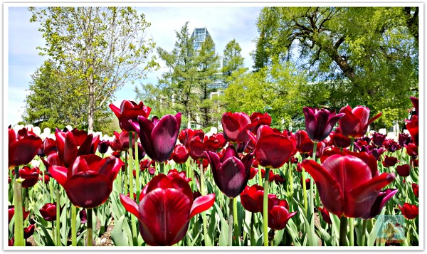 Tulip Garden with view of National Art Gallery