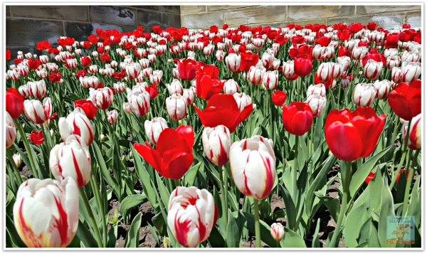 Canada 150 Tulips on Parliament Hill