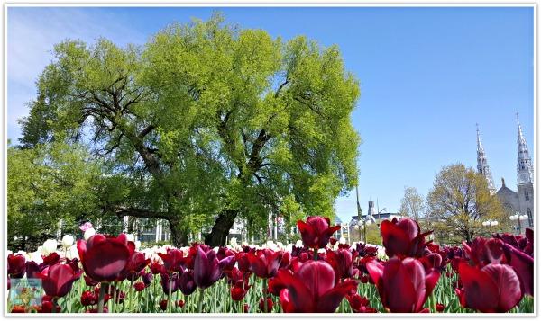Tulips at Major's Hill Park Ottawa