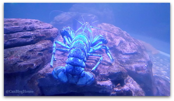 Toronto tourist attraction Blue Lobster Ripley's Aquarium