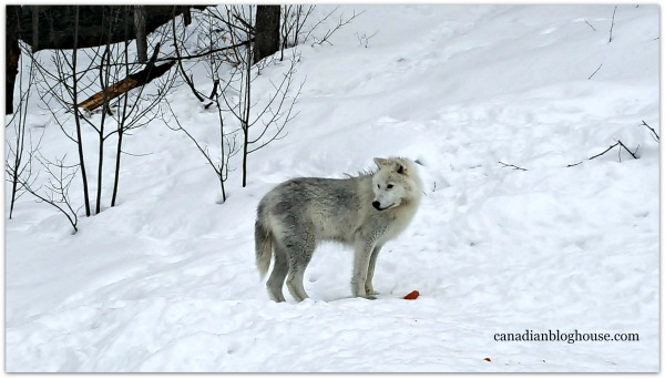 Arctic Wolf Parc Omega