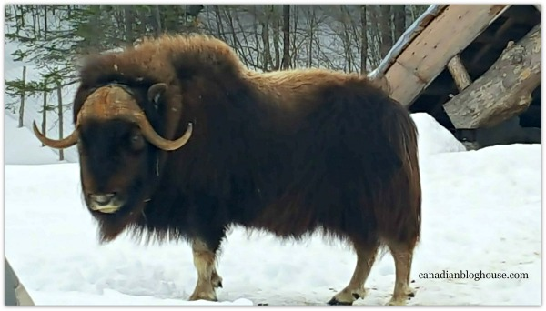 Musk Ox Parc Omega