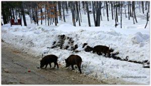 Wild Boar Parc Omega in winter