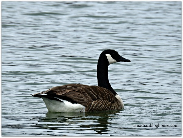 Canada Goose Prince Edward Point Lighthouse