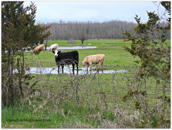 Cattle Prince Edward County