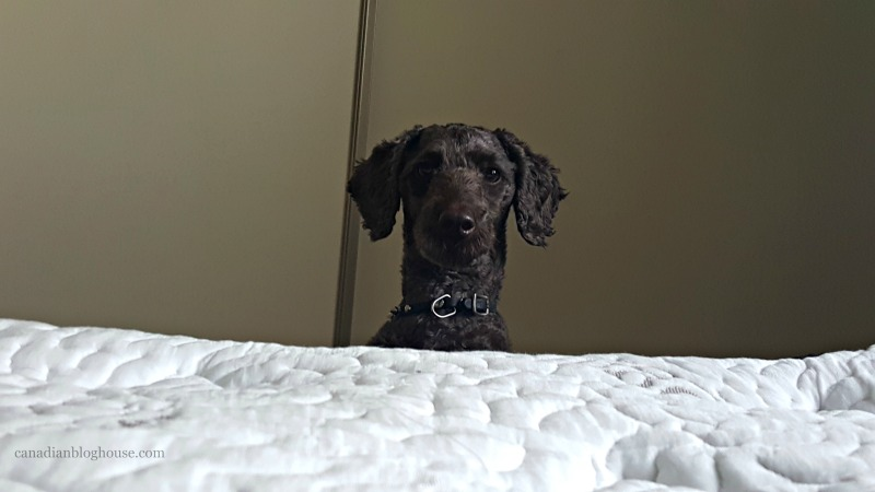 Guinness looking at Logan and Cove luxury mattress