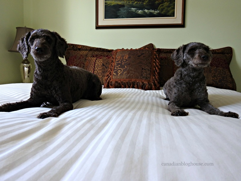 Guinness and Bella on Logan and Cove luxury mattress
