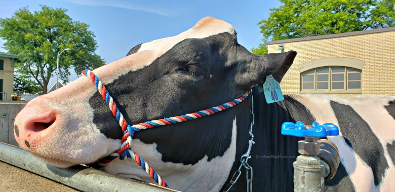 The Great New York State Fair Cow